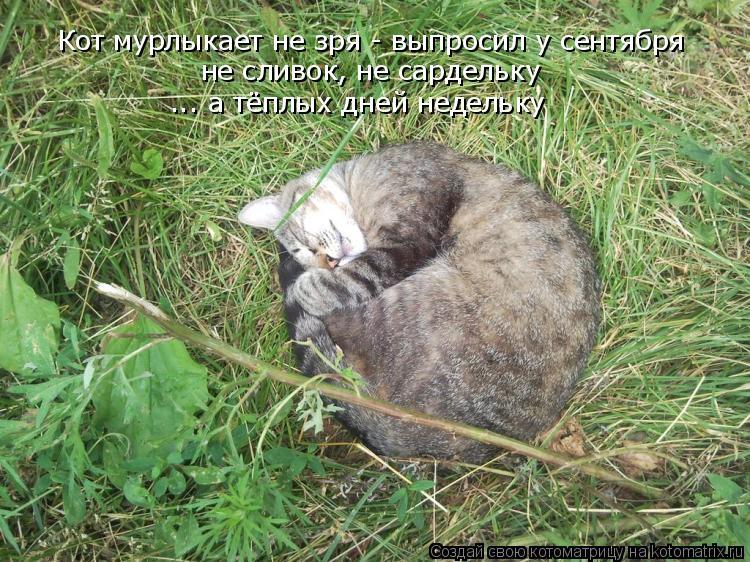 Котоматрица: Кот мурлыкает не зря - выпросил у сентября не сливок, не сардельку ... а тёплых дней недельку