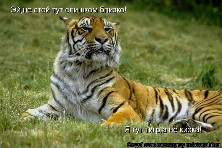 Котоматрица: Эй,не стой тут слишком близко! Я тут тигр,а не киска!
