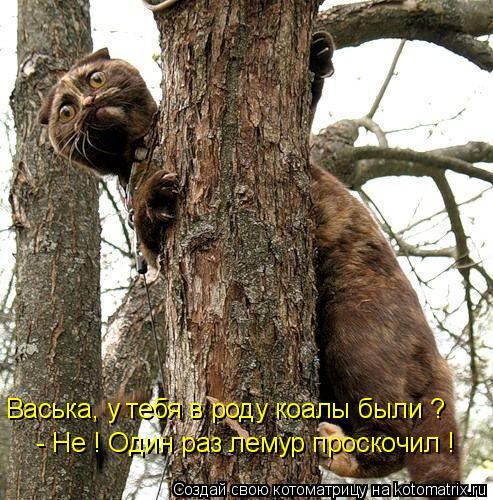 Котоматрица: Васька, у тебя в роду коалы были ? - Не ! Один раз лемур проскочил !