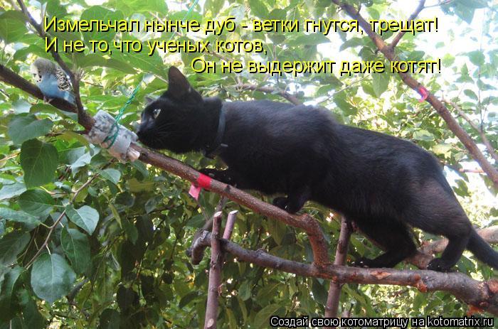 Котоматрица: Измельчал нынче дуб - ветки гнутся, трещат! И не то,что ученых котов, Он не выдержит даже котят!