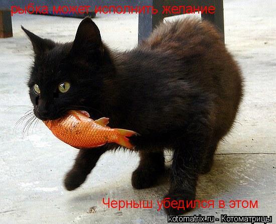 Котоматрица: рыбка может исполнить желание Черныш убедился в этом