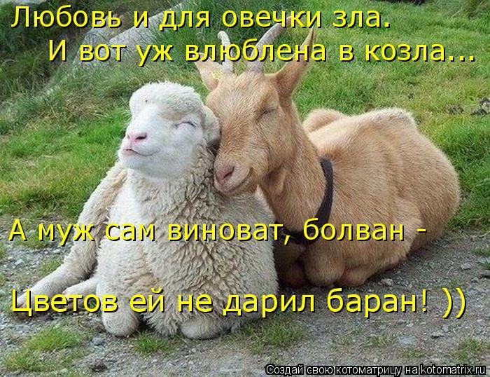 Котоматрица: Любовь и для овечки зла. И вот уж влюблена в козла... А муж сам виноват, болван -  Цветов ей не дарил баран! ))