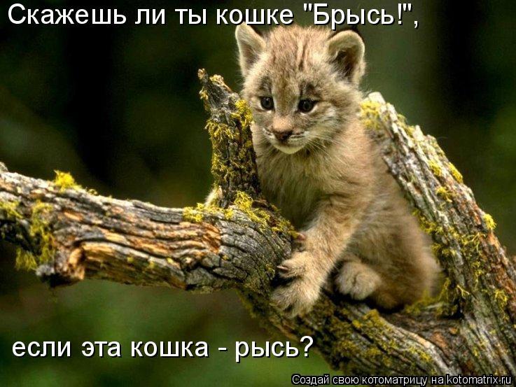 """Котоматрица: Скажешь ли ты кошке """"Брысь!"""",  если эта кошка - рысь?"""