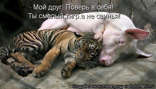 Котоматрица: Мой друг! Поверь в себя! Ты смелый тигр,а не свинья!