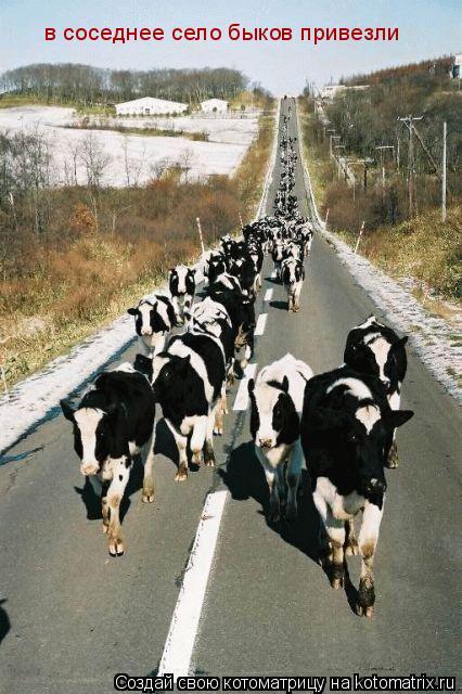Котоматрица: в соседнее село быков привезли