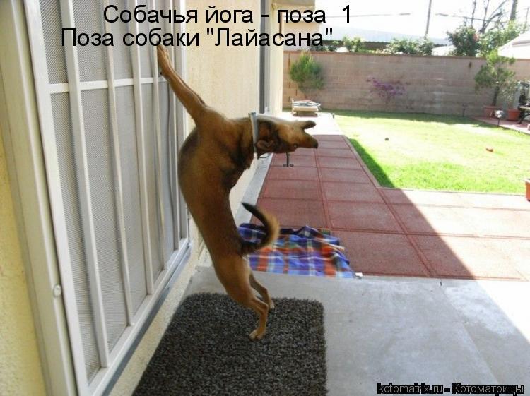 "Котоматрица: Собачья йога - поза  Собачья йога - поза №1 Поза собаки ""Лайасана"""