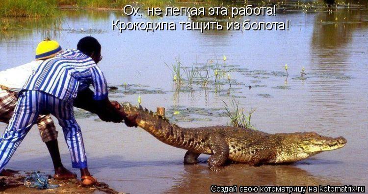 Котоматрица: Ох, не легкая эта работа! Крокодила тащить из болота!