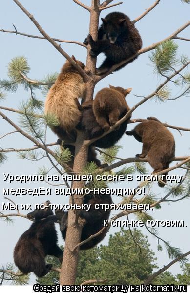 Котоматрица: Уродило на нашей сосне в этом году  медведЕй видимо-невидимо!   Мы их по-тихоньку стряхиваем,  к спячке готовим.