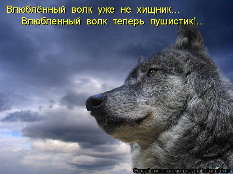 Волк уже не хищник влюбленный волк