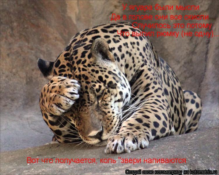"""Котоматрица: У ягуара были мысли Да в голове они все скисли Случилось это потому Что выпил рюмку (не одну)... Вот что получается, коль """"звери напиваются"""
