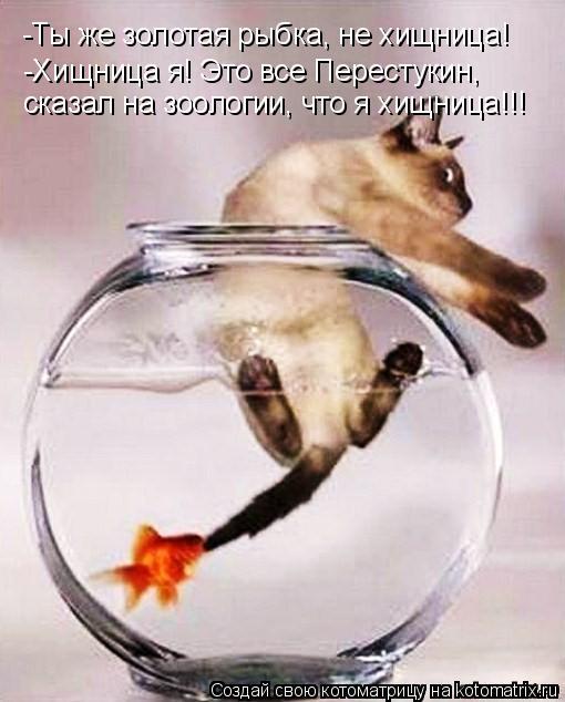 Котоматрица: -Ты же золотая рыбка, не хищница! -Хищница я! Это все Перестукин,  сказал на зоологии, что я хищница!!!