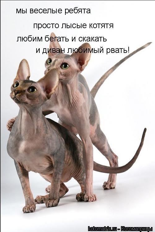 Котоматрица: мы веселые ребята просто лысые котятя любим бегать и скакать и диван любимый рвать!