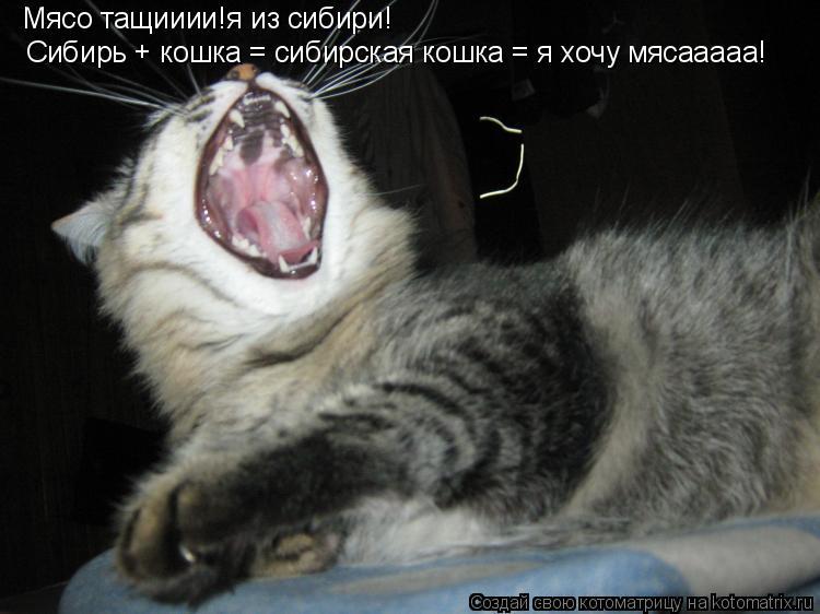Котоматрица: Мясо тащииии!я из сибири! Сибирь + кошка = сибирская кошка = я хочу мясааааа!