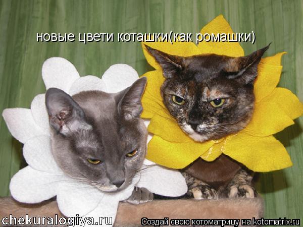 Котоматрица: новые цвети коташки(как ромашки)