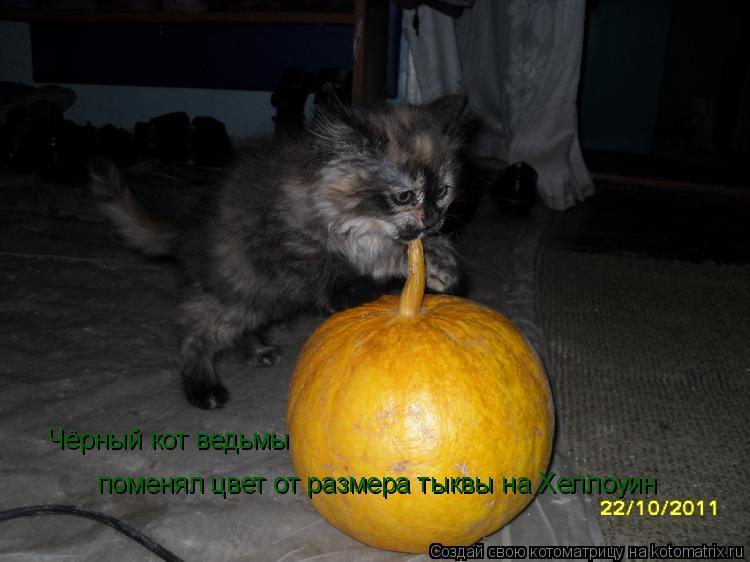 Котоматрица: Чёрный кот ведьмы поменял цвет от размера тыквы на Хеллоуин поменял цвет от размера тыквы на Хеллоуин