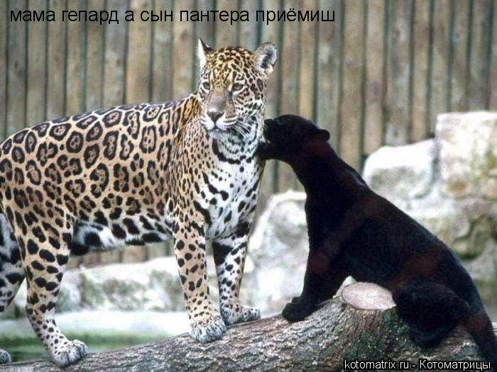 Котоматрица: мама гепард а сын пантера приёмиш