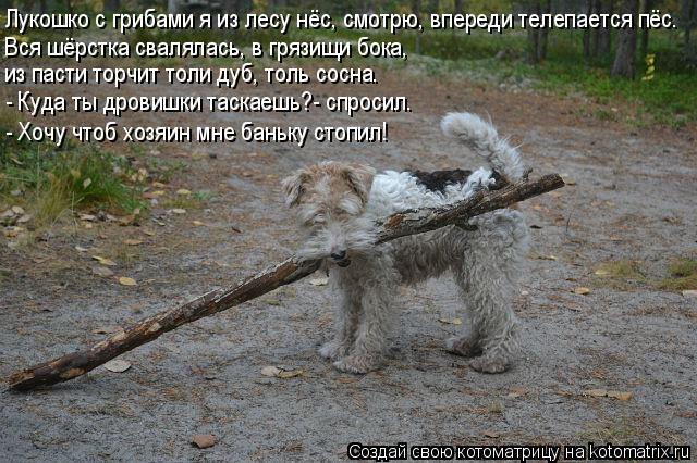 Котоматрица: Лукошко с грибами я из лесу нёс, смотрю, впереди телепается пёс. Вся шёрстка свалялась, в грязищи бока, из пасти торчит толи дуб, толь сосна. -