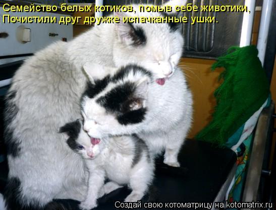 Котоматрица: Семейство белых котиков, помыв себе животики, Почистили друг дружке испачканные ушки.