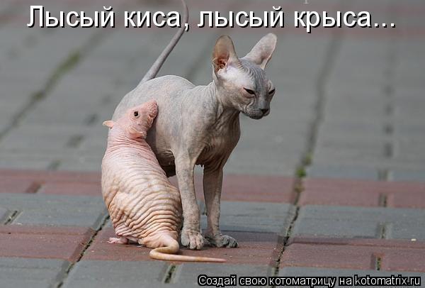 Котоматрица: Лысый киса, лысый крыса...