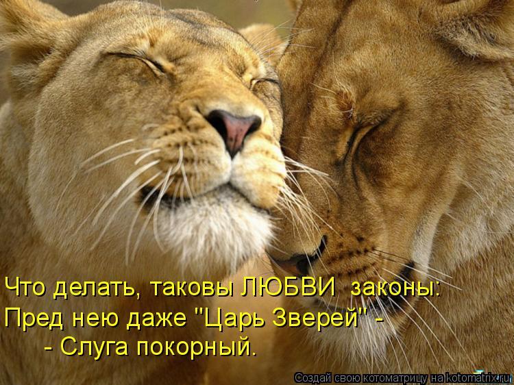 """Котоматрица: Что делать, таковы ЛЮБВИ  законы: Пред нею даже """"Царь Зверей"""" -  - Слуга покорный."""