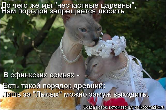 """Котоматрица: До чего же мы """"несчастные царевны"""", Нам породой запрещается любить. В сфинкских семьях -  Есть такой порядок древний: Лишь за """"Лысых"""" можно зам"""