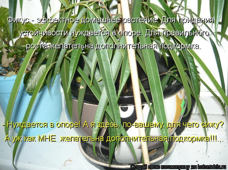 Котоматрица: Фикус - эффектное домашнее растение. Для придания  устойчивости нуждается в опоре. Для правильного  роста желательна дополнительная подкор