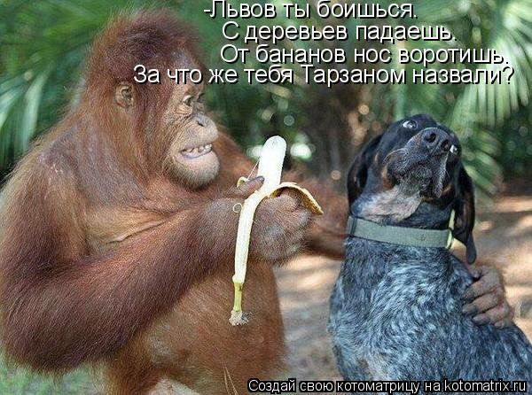 Котоматрица: -Львов ты боишься.  С деревьев падаешь. От бананов нос воротишь. За что же тебя Тарзаном назвали?