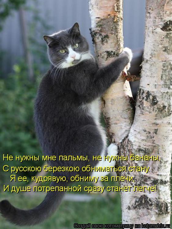Котоматрица: Не нужны мне пальмы, не нужны бананы, С русскою березкою обниматься стану. Я ее, кудрявую, обниму за плечи, И душе потрепанной сразу станет ле