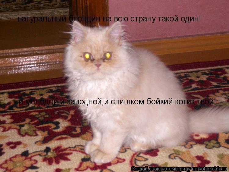 Котоматрица: и молодой,и заводной,и слишком бойкий котик твой! натуральный блондин на всю страну такой один!