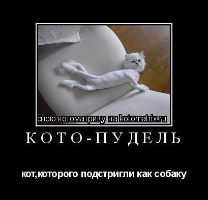 Котоматрица: КОТО-ПУДЕЛЬ кот,которого подстригли как собаку