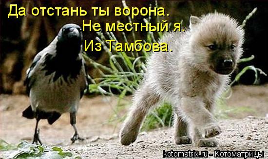 Котоматрица: Да отстань ты ворона. Не местный я. Из Тамбова.