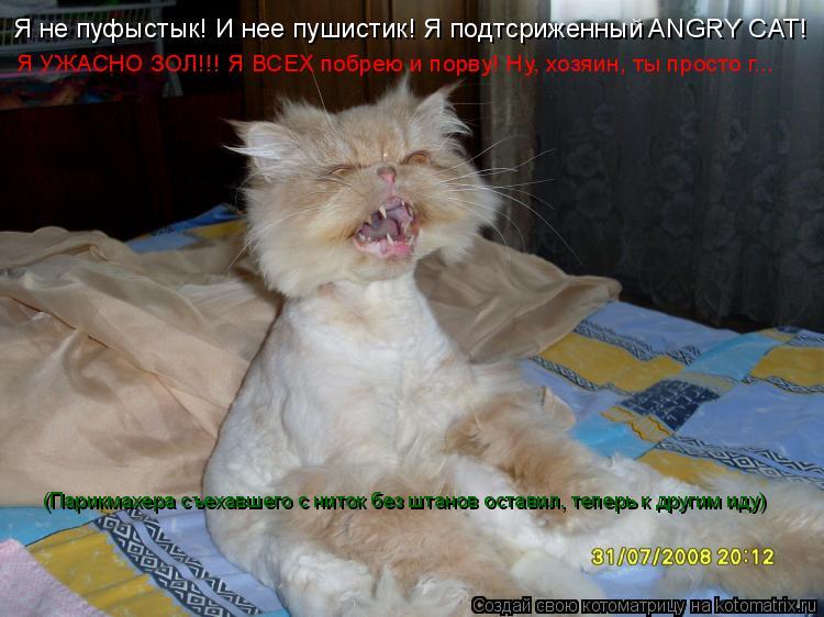 Котоматрица: Я не пуфыстык! И нее пушистик! Я подтсриженный ANGRY CAT! Я УЖАСНО ЗОЛ!!! Я ВСЕХ побрею и порву! Ну, хозяин, ты просто г... (Парикмахера съехавшего с