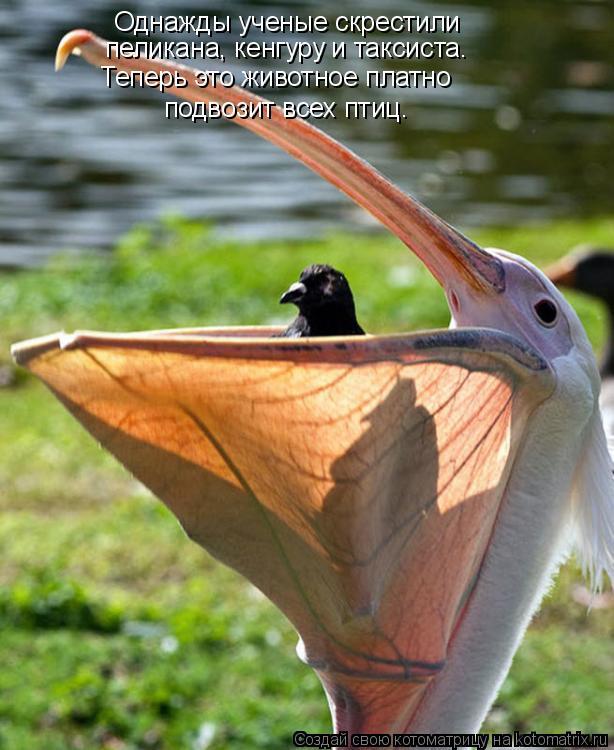 Котоматрица: Однажды ученые скрестили  пеликана, кенгуру и таксиста. Теперь это животное платно  подвозит всех птиц.