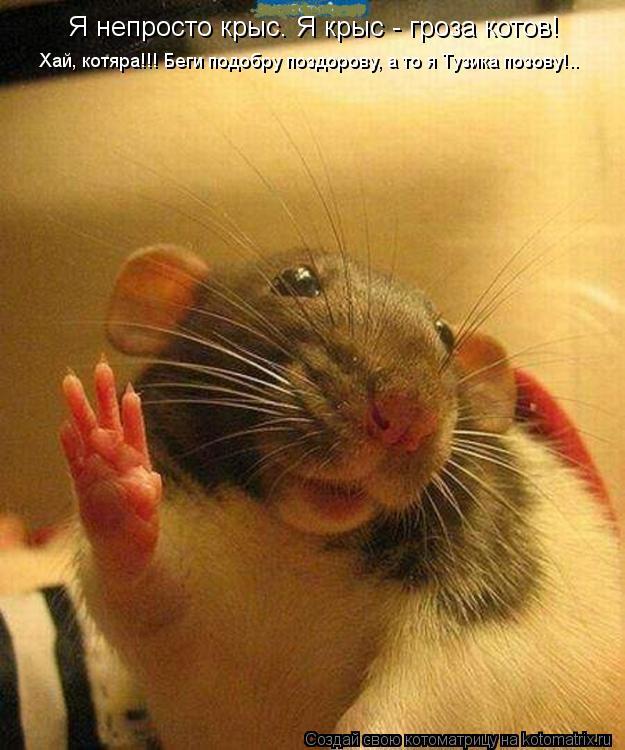 Котоматрица: Я непросто крыс. Я крыс - гроза котов!  Хай, котяра!!! Беги подобру поздорову, а то я Тузика позову!..
