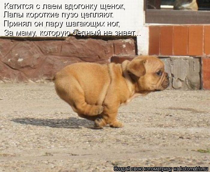 Котоматрица: Лапы короткие пузо цепляют. Принял он пару шагающих ног, Катится с лаем вдогонку щенок, За маму, которую бедный не знает...