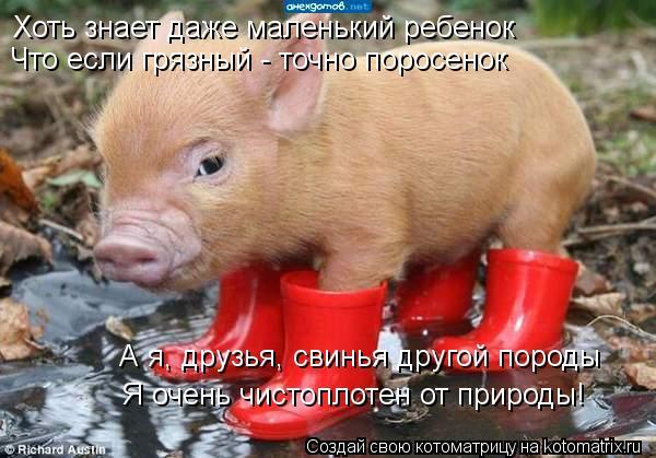 Котоматрица: Хоть знает даже маленький ребенок Что если грязный - точно поросенок А я, друзья, свинья другой породы Я очень чистоплотен от природы!