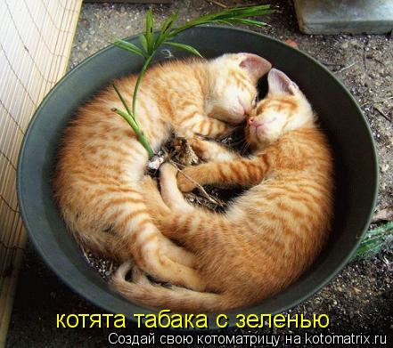 Котоматрица: котята табака с зеленью