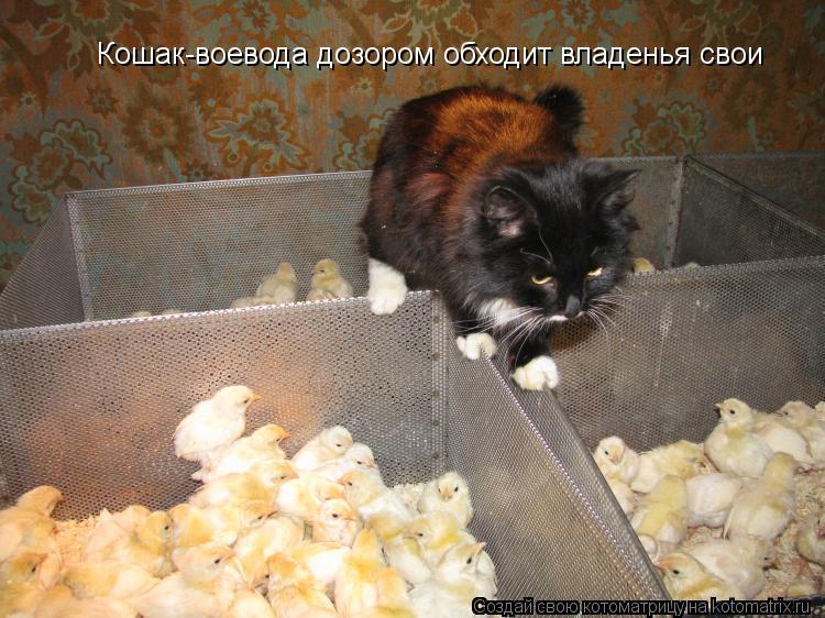 Котоматрица: Кошак-воевода дозором обходит владенья свои