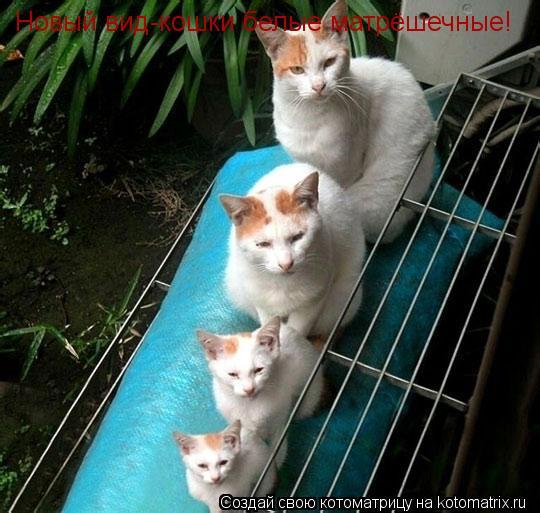 Котоматрица: Новый вид-кошки белые матрёшечные!