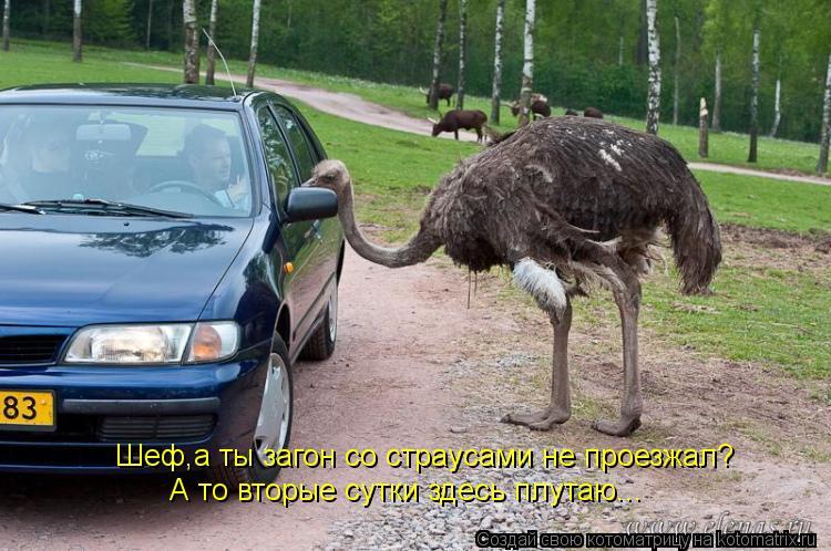 Котоматрица: Шеф,а ты загон со страусами не проезжал? А то вторые сутки здесь плутаю...
