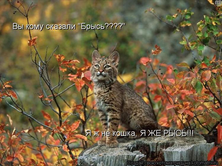 """Котоматрица: Вы кому сказали """"Брысь????"""" Я ж не кошка, Я ЖЕ РЫСЬ!!!"""