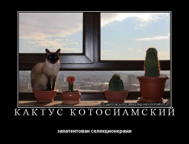 Котоматрица: кактус котосиамский запатентован селекционерами