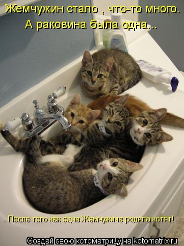Котоматрица: Жемчужин стало , что-то много.  А раковина была одна... После того как одна Жемчужина родила котят!