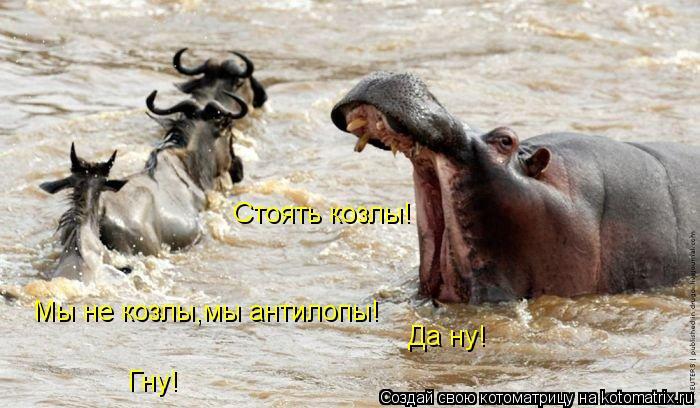 Котоматрица: Стоять козлы! Мы не козлы,мы антилопы! Да ну! Гну!