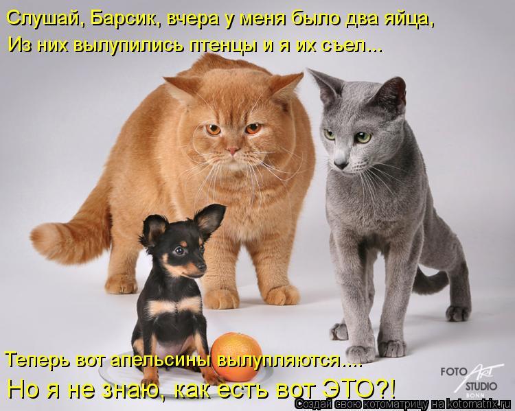 Котоматрица: Слушай, Барсик, вчера у меня было два яйца, Из них вылупились птенцы и я их съел... Теперь вот апельсины вылупляются.... Но я не знаю, как есть во