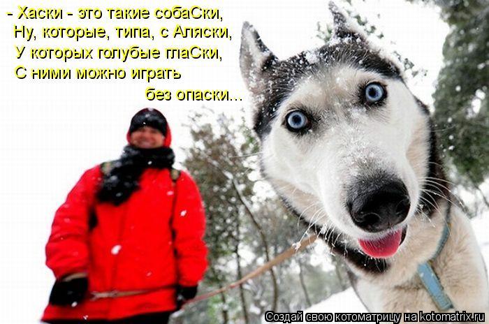 Котоматрица: - Хаски - это такие собаСки, Ну, которые, типа, с Аляски, У которых голубые глаСки, С ними можно играть  без опаски...