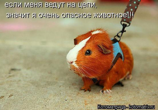Котоматрица: если меня ведут на цепи, значит я очень опасное животное!!!