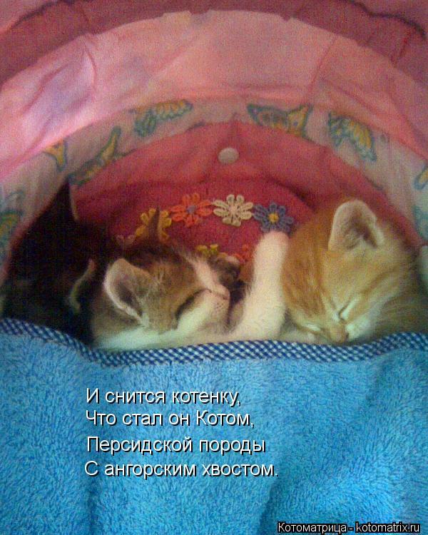 Котоматрица: И снится котенку, Что стал он Котом, Персидской породы С ангорским хвостом.
