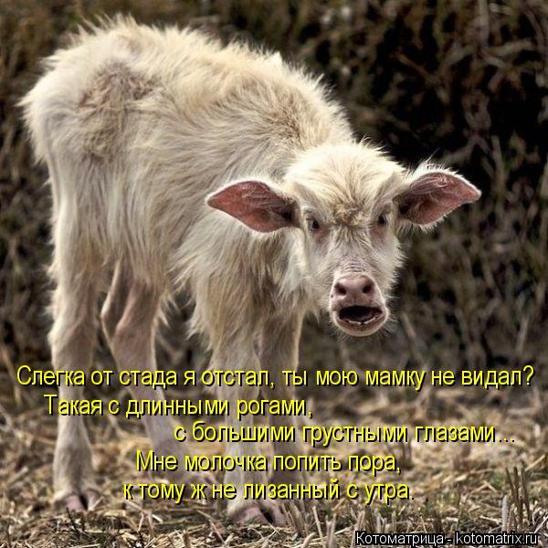 Котоматрица: Слегка от стада я отстал, ты мою мамку не видал? Мне молочка попить пора, Такая с длинными рогами,  к тому ж не лизанный с утра. с большими грус