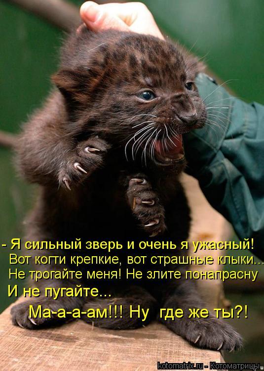 Котоматрица: - Я сильный зверь и очень я ужасный! Вот когти крепкие, вот страшные клыки... Не трогайте меня! Не злите понапрасну И не пугайте... Ма-а-а-ам!!! Ну